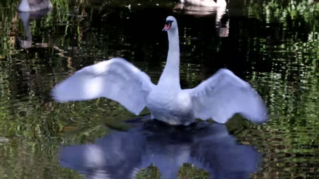 Male mute swan Cygnus olor triumph HD video