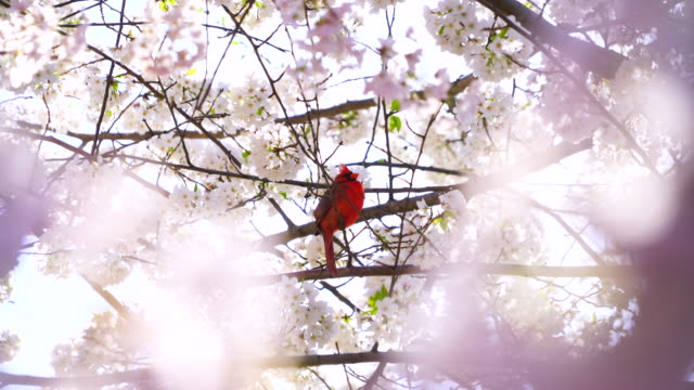 A Male Northern cardinal perches on the full-bloomed Cherry blossoms tree, which are shaking by wind and illuminated by late afternoon sunlight at Central Park Central Park New York USA on Apr. 23 2018.