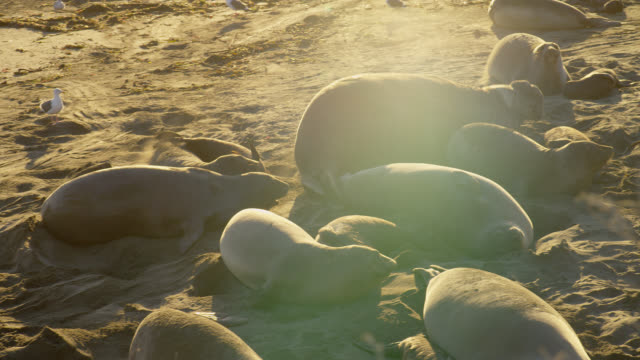 wide pan male northern elephant seal moves quickly past female and baby elephant seals to chase another male on beach - elephant seal stock videos & royalty-free footage