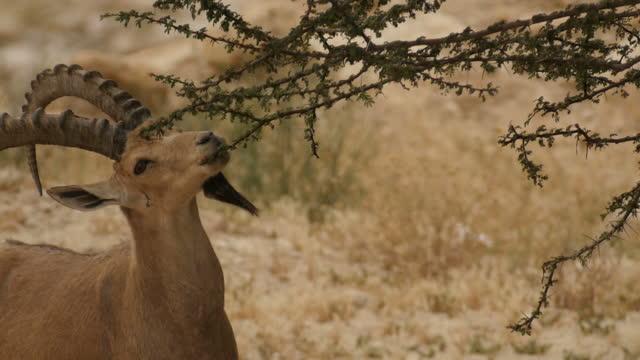 male nubian ibex (capra nubiana) feeding and resting in the judea desert - 角のはえた点の映像素材/bロール