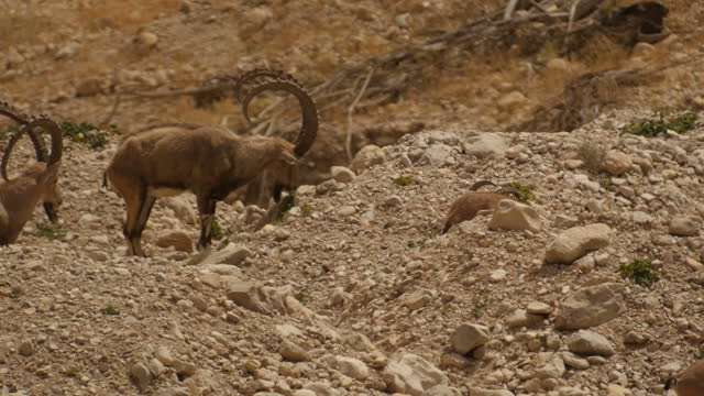 male nubian ibex (capra nubiana) feeding and resting in the judea desert - small group of animals stock videos & royalty-free footage