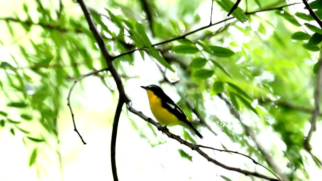male of yellow-rumped flycatcher (ficedula zanthopygia) beautiful bird with perched on a branch - textile patch stock videos & royalty-free footage
