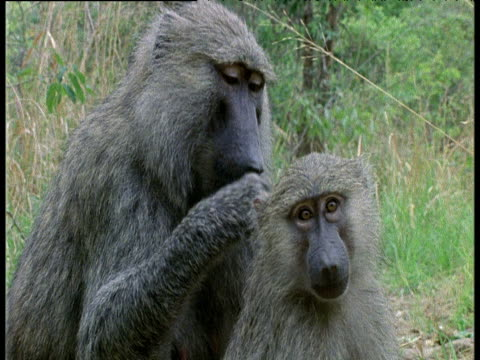stockvideo's en b-roll-footage met male olive baboon grooms female - dierenverzorging