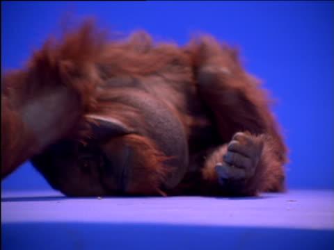 male orang-utan rolling across floor - dizzy stock videos & royalty-free footage