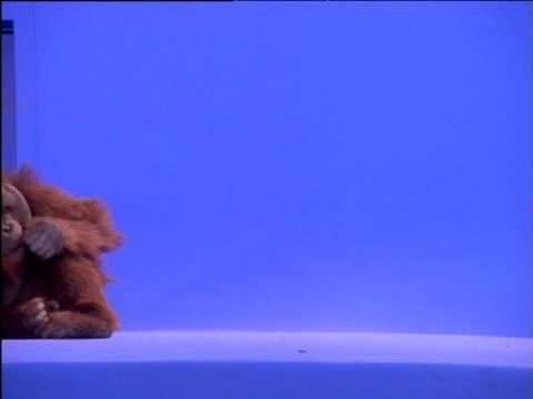 male orang-utan rolls across frame - ape stock videos & royalty-free footage
