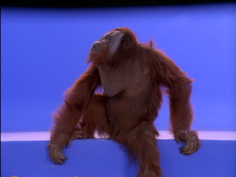 male orang-utan sits on step and looks around - zurücklehnen stock-videos und b-roll-filmmaterial