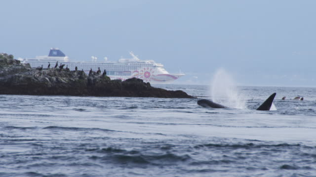 male orca surfaces and breathes with rock and cruise liner in background - vancouver canada stock videos and b-roll footage