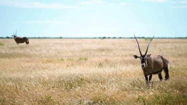 Männliche Oryx Antilope stehend