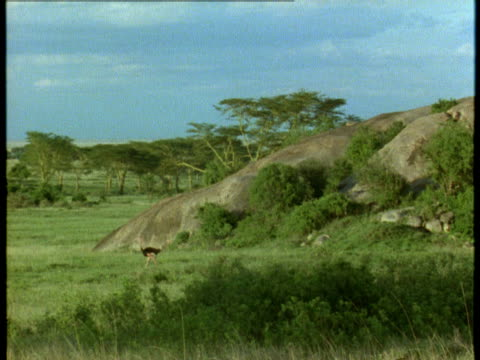 a male ostrich walks across the grassland. - flightless bird stock videos & royalty-free footage