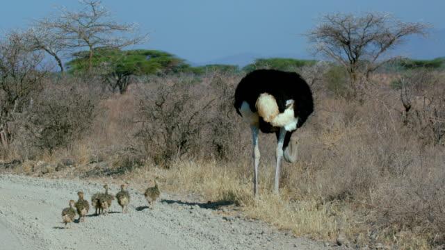 Male Ostritch With Chicks Samburu  Kenya  Africa