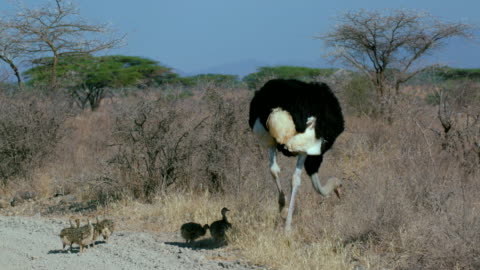 male ostritch with chicks samburu  kenya  africa - baby chicken stock videos & royalty-free footage