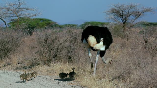 male ostritch with chicks samburu  kenya  africa - young bird stock videos & royalty-free footage