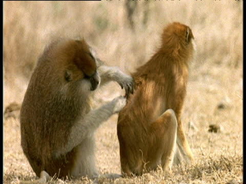 male patas monkey grooms female - couple relationship stock videos & royalty-free footage