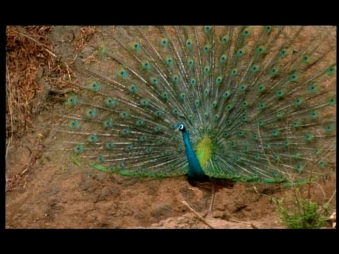 male peacock (pavo cristatus) displaying, nagarahole, southern india - peacock stock videos and b-roll footage