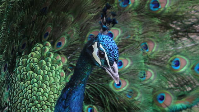 stockvideo's en b-roll-footage met cu ls male peacock displaying tail feathers/xian,shaanxi,china - vachtpatroon