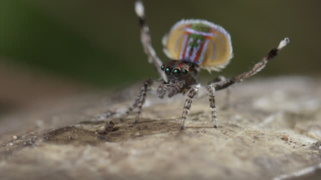 male peacock jumping spider (maratus volans) displays to female, australia - spider stock videos & royalty-free footage