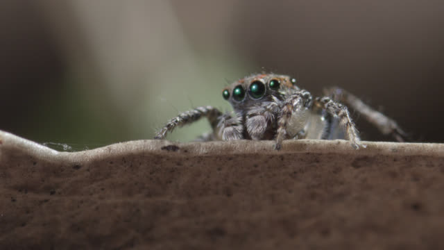 male peacock jumping spider (maratus volans) peers from leaf, australia - spider stock videos & royalty-free footage