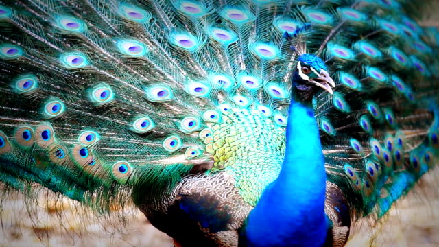 male peacock - peacock stock videos and b-roll footage