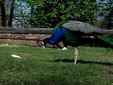 stockvideo's en b-roll-footage met male peacock - 2007