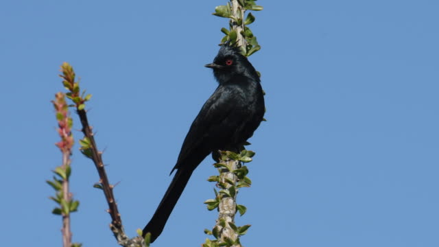 Male Phainopepla, desert bird, Arizona
