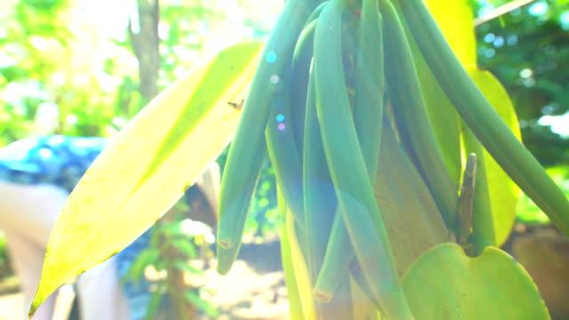 male picking vanilla spice pods rainforest plantation java - plantation stock videos & royalty-free footage