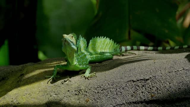 vídeos y material grabado en eventos de stock de male plumed basilisk - reptile