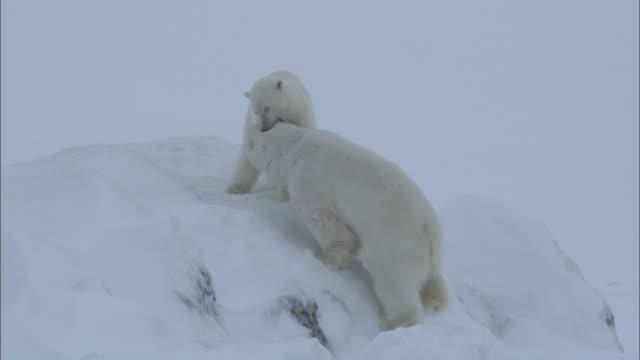 a male polar bear approaches a female on a snowy ridge near svalbard, arctic norway. - polar climate stock videos and b-roll footage