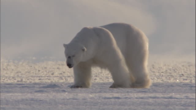 a male polar bear plods across an ice field in svalbard, norway. - male animal stock videos & royalty-free footage