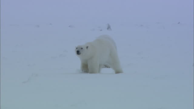 a male polar bear pursues a female in the snow in svalbard, arctic norway. - female animal stock videos & royalty-free footage