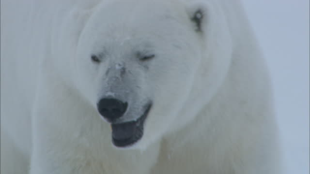 A male polar bear pursues a female in the snow in Svalbard, Arctic Norway.