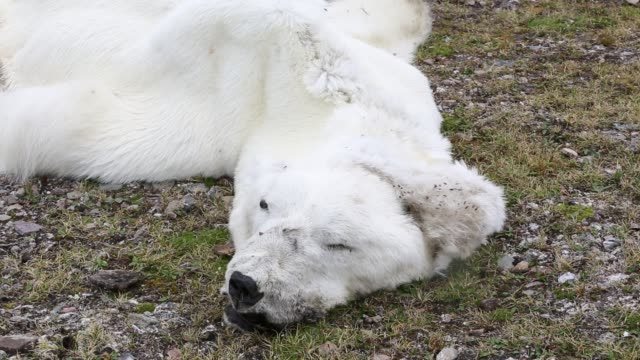 a male polar bear (ursus maritimus) starved to death as a consequence of climate change. - climate change stock videos & royalty-free footage