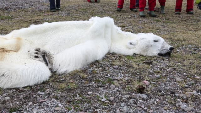 a male polar bear (ursus maritimus) starved to death as a consequence of climate change. - ausgemergelt stock-videos und b-roll-filmmaterial
