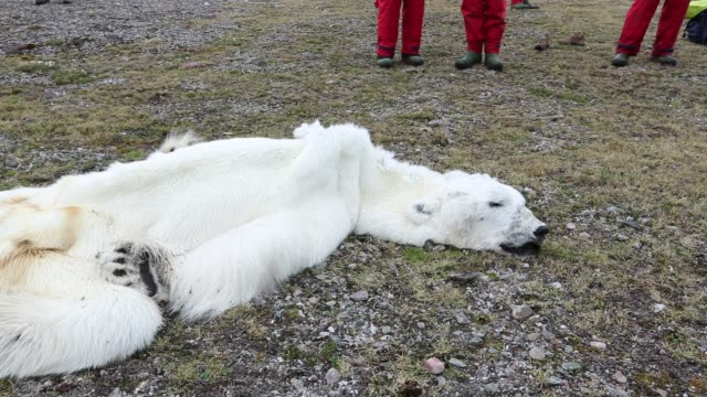 A male Polar Bear (Ursus maritimus) starved to death as a consequence of climate change.