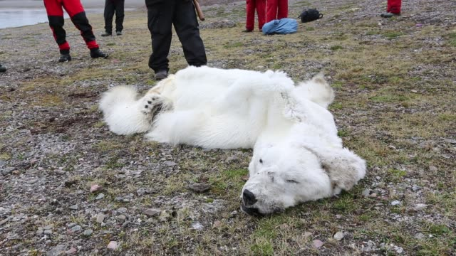 a male polar bear (ursus maritimus) starved to death as a consequence of climate change. this clip shows international polar bear scientist, ian stirling explaining how the bear died. - ausgemergelt stock-videos und b-roll-filmmaterial
