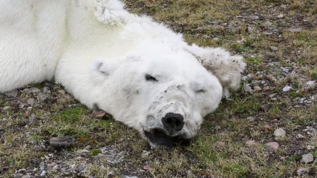 stockvideo's en b-roll-footage met a male polar bear (ursus maritimus) starved to death in all likelihood as a consequence of climate change. - doden