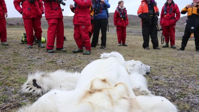 male polar bear starved to death in all likelihood as a consequence of climate change. this male polar bear was last tracked by the norwegian polar... - bär stock-videos und b-roll-filmmaterial