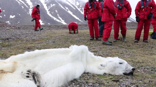 male polar bear starved to death in all likelihood as a consequence of climate change. this male polar bear was last tracked by the norwegian polar... - fell stock-videos und b-roll-filmmaterial