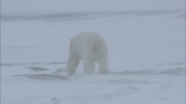 A male polar bear walks on the snow injured from a fight on Svalbard, Arctic Norway.