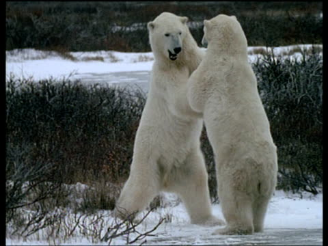 Male polar bears play fighting on ice, Churchill, Canada