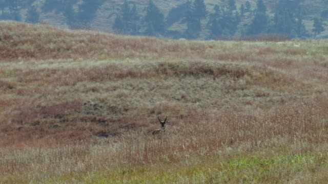 ws male pronghorn standing in grassy landscape / custer state park, south dakota, united states - custer staatspark stock-videos und b-roll-filmmaterial