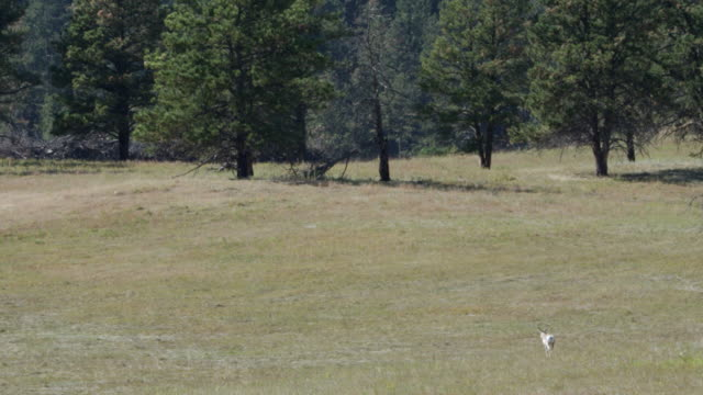ws male pronghorn walking in grassy landscape / custer state park, south dakota, united states - カスター州立公園点の映像素材/bロール