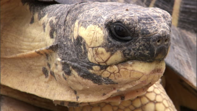 Male radiated tortoise (Astrochelys radiata) pursues female, Madagascar