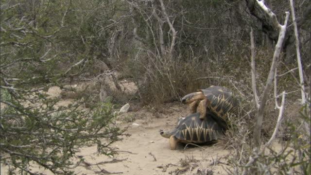 male radiated tortoise (astrochelys radiata) tries to mate with female, madagascar - sköldpadda bildbanksvideor och videomaterial från bakom kulisserna
