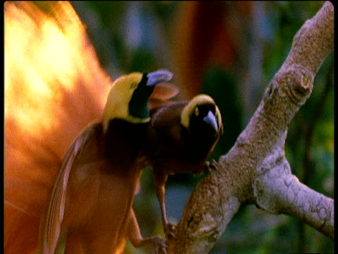 male raggiana bird of paradise seduces female by pecking her violently, papua new guinea - aggression点の映像素材/bロール