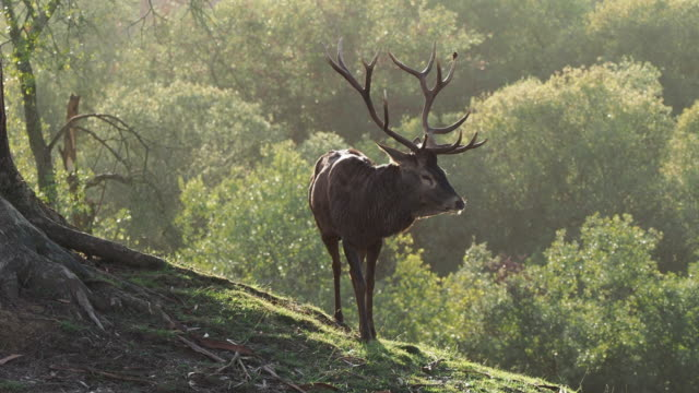 a male red deer with an imposing antler contrasting against the background of the forest. cervus elaphus. - antler stock videos & royalty-free footage