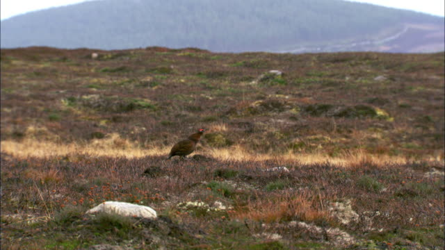 male red grouse (lagopus scotica) calls on moorland, cairngorms, scotland - moor stock videos & royalty-free footage