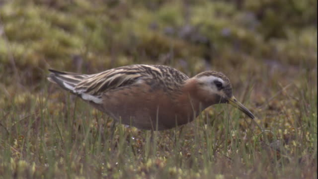 a male red phalarope forages on the arctic tundra. available in hd - futter suchen stock-videos und b-roll-filmmaterial