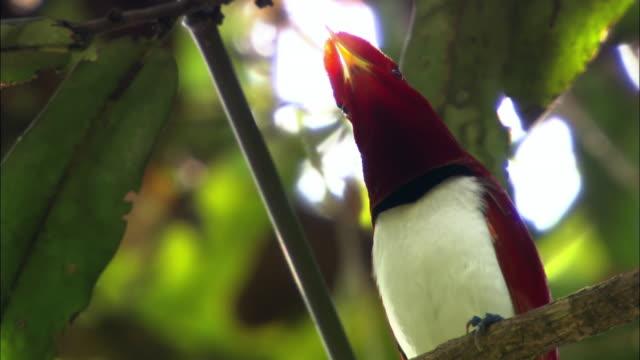 Male Red-headed Woodpecker (Melanerpes erythrocephalus) vocalizing to seduce a female in Sumatra Island, Indonesia