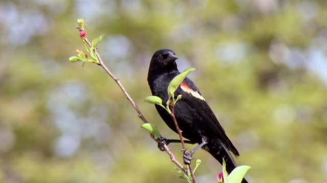 ms male redwing blackbird perching on apple tree / tweed, ontario, canada - rotschulterstärling stock-videos und b-roll-filmmaterial