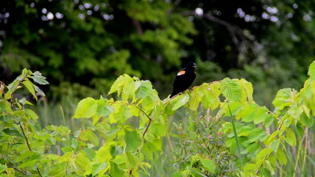 männliche auch rotdrosseln blackbird singen auf ast - rotschulterstärling stock-videos und b-roll-filmmaterial
